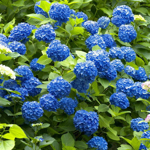 Large Nikko Blue Hydrangea Shrub Blooming