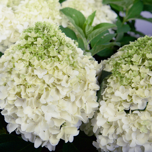 White Wedding Hydrangea Shrub Blooming Main