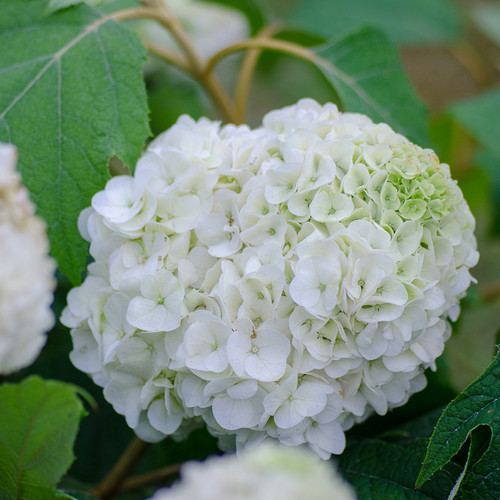 Tara Hydrangea Flower Petals and Foliage
