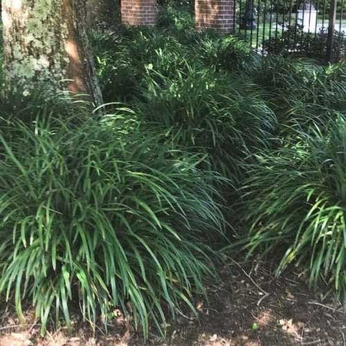 Large Super Blue Liriope Plants in the Shade Garden
