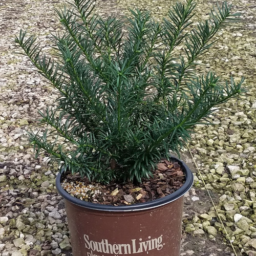 Spreading Plum Yew in Branded Pot Main