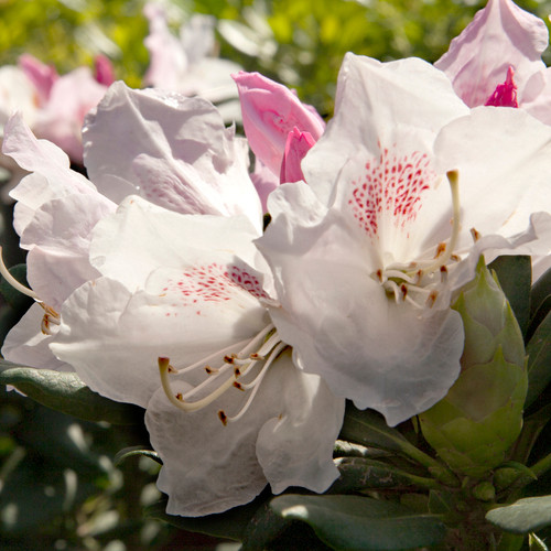 Southgate Grace Rhododendron Flowers Main