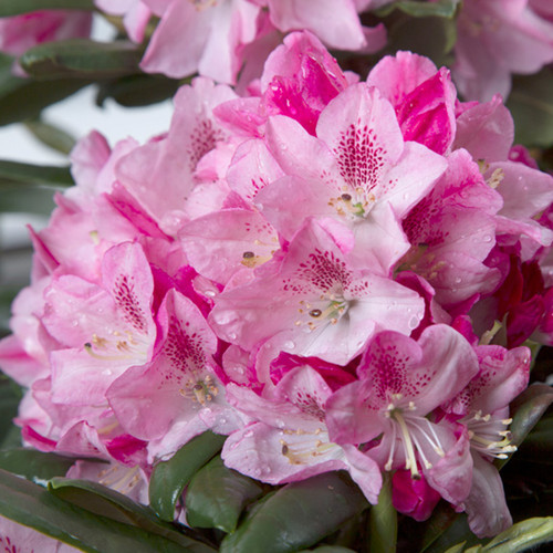Southgate Splendor Rhododendron Flowers Main