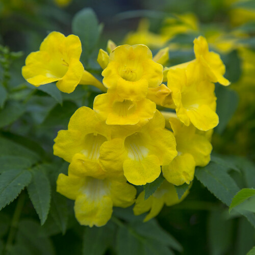 Lydia Tecoma Flowers and Foliage Main