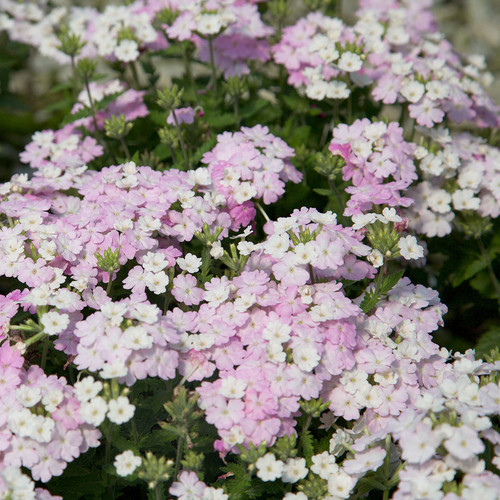 Endurascape White Blush Verbena Main