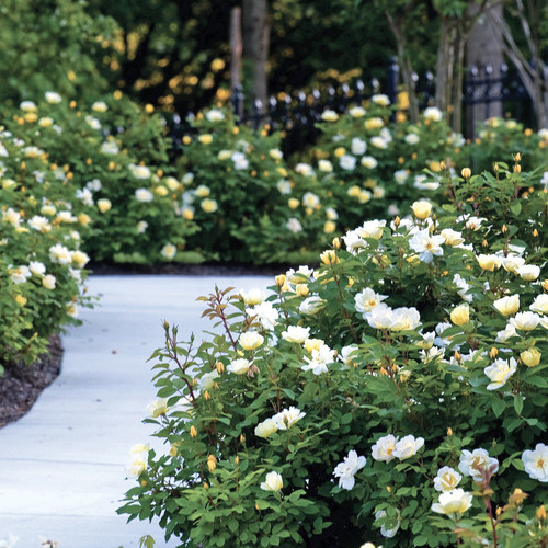 Blooming Sunny Knock Out Rose Shrubs By The Pathway Main