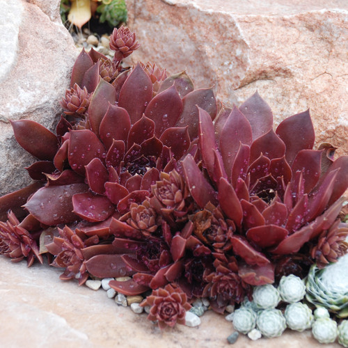 Chick Charms Chocolate Kiss Sempervivum Main