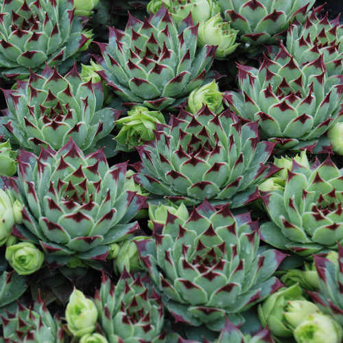 Chick Charms Mint Marvel Sempervivum Main