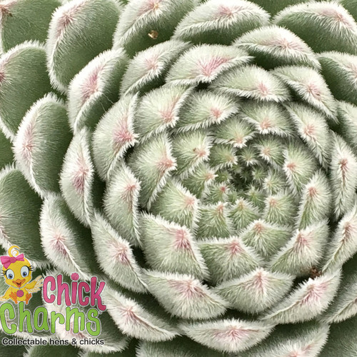 Chick Charms Sugar Shimmer Sempervivum Main