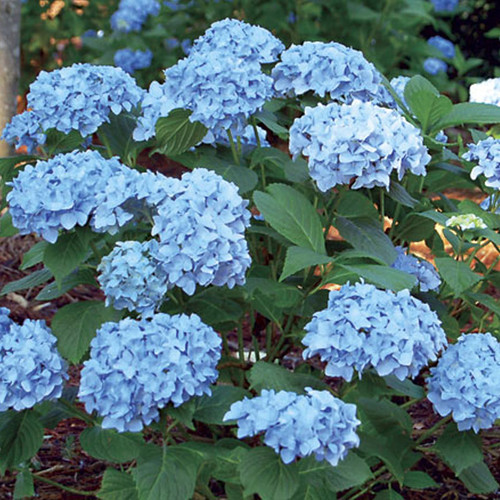 Mini Penny Mac Hydrangea Flowering