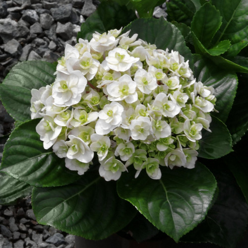 Small Wedding Gown Hydrangea Shrub With Flower