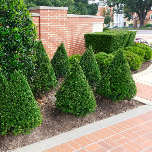 Formal Pruned Steeds Holly Shrubs