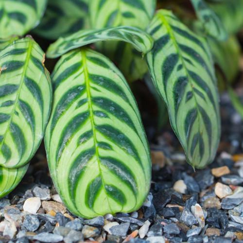 Fishbone Prayer Plant Leaves