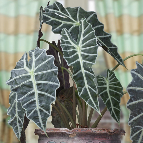 Alocasia Polly Houseplant in Planter