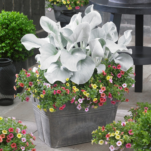Angel Wings Plant in Planter