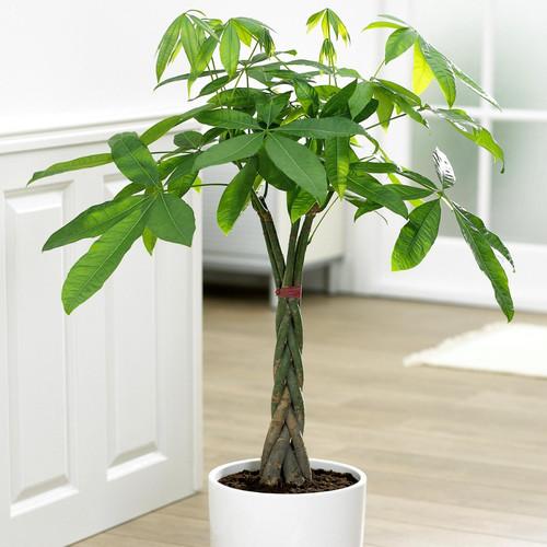 Braided Money Tree Houseplant
