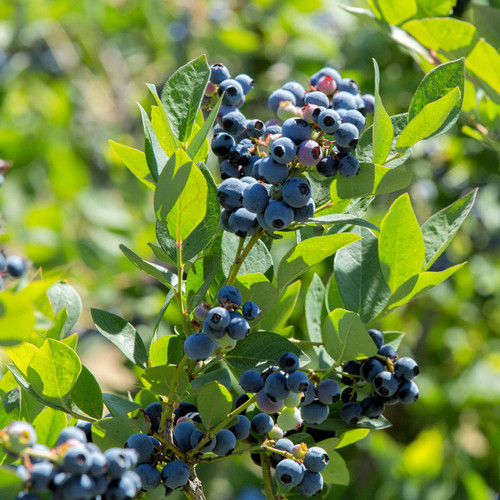Sunshine Blue Blueberry Branch Growing Berries