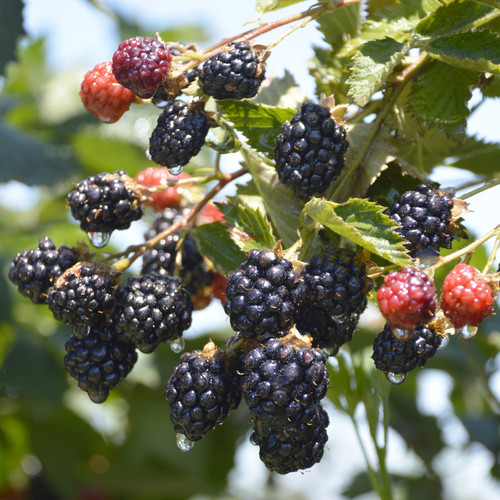Natchez Blackberries Growing on the Branch
