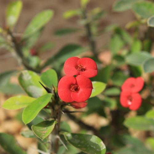 Crown of Thorns Flowering