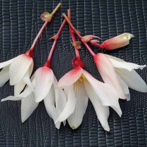 Bossa Nova® Pure White Begonia Flowers