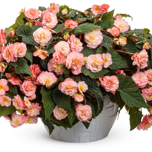 Large Double Delight Blush Rose Begonia Plant in Decorative Planter