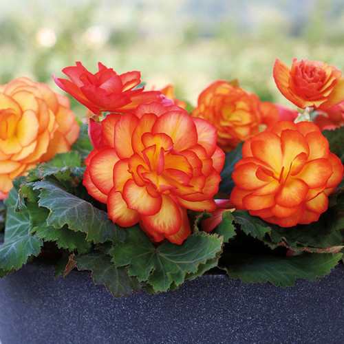 Nonstop® Fire Begonia Plant Blooming