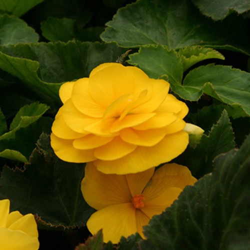 Nonstop® Mocca Yellow Begonia Flower Petals & Leaves