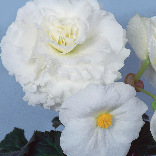Nonstop® White Begonia Flower Petals