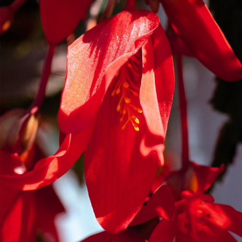 Santa Cruz Sunset Begonia Close Up