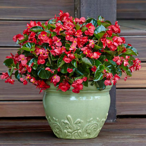 Surefire Red Begonia In a white pot