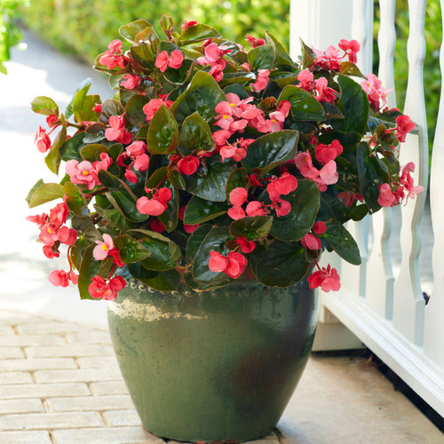 Surefire® Rose Begonia In a green decorative pot