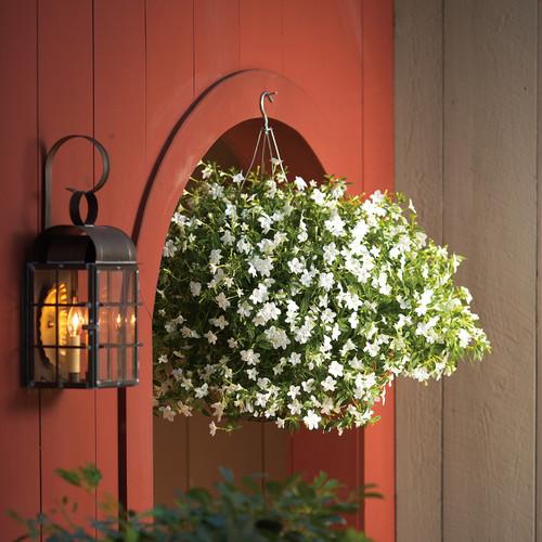Endless Flirtation Bush Violet Flowering in Annual Hanging Basket