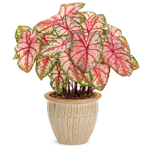 Large Heart to Heart Bottle Rocket Caladium in Decorative Pot