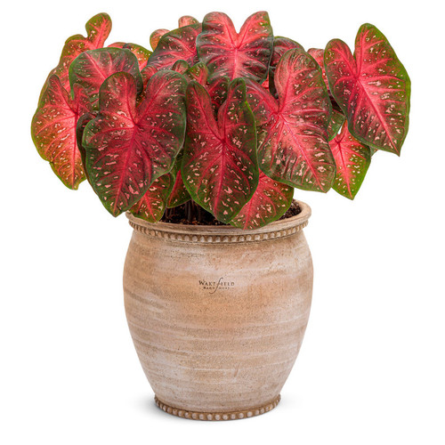 Large Heart to Heart Fast Flash Caladium In Decorative Planter