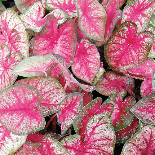 Heart to Heart® Radiance Caladium Foliage