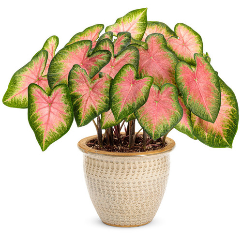 Heart to Heart® Rose Glow Caladium in garden planter