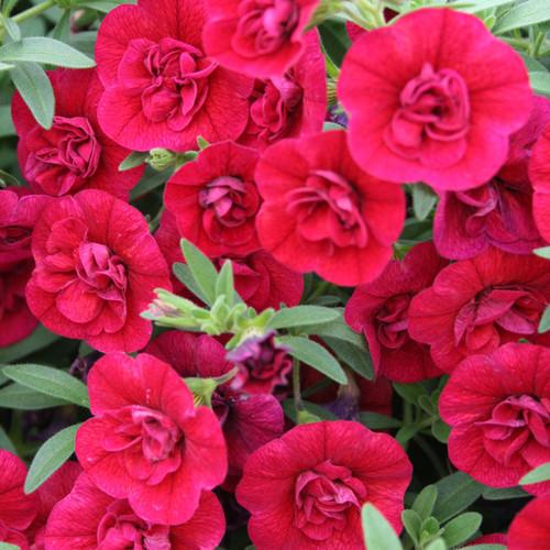 Superbells® Double Ruby Calibrachoa blooms