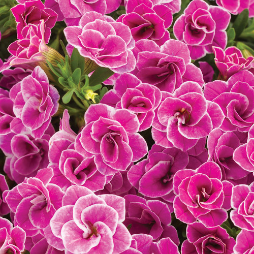 Superbells Doublette Love Swept Calibrachoa Flowers Close Up