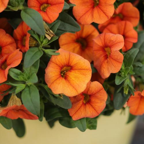Superbells Dreamsicle Calibrachoa Flowers and Foliage