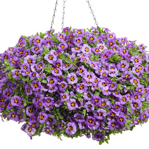 Superbells® Evening Star™ Calibrachoa in hanging basket