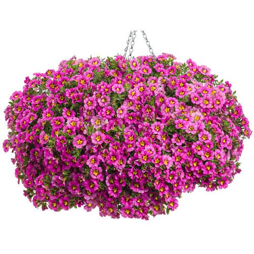 Superbells Hollywood Star Calibrachoa in Hanging Basket