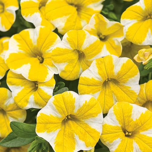 Superbells Lemon Slice Calibrachoa Flowers Close Up