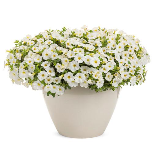 Superbells TableTop™ White Calibrachoa In a white pot