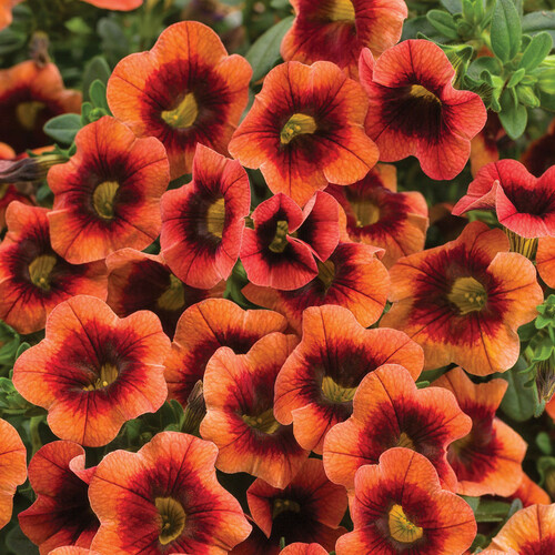 Superbells® Tangerine Punch™ Calibrachoa Flowers