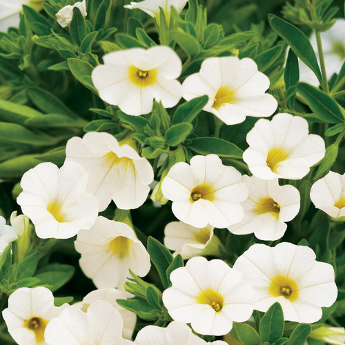 Superbells White Calibrachoa Flowers and Foliage