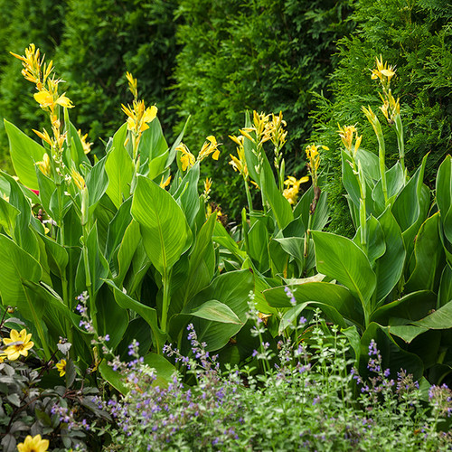 Border of Tall Toucan Yellow Canna Lilies