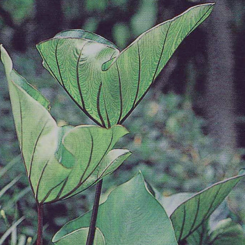 Coffee Cups Colocasia Leaves Forming a Cup
