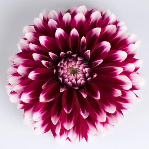 Dalina® Grande Cancun Dahlia Flower Petals