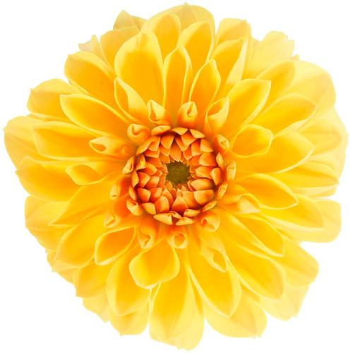 Dalina® Grande Romero Dahlia Flower Petals