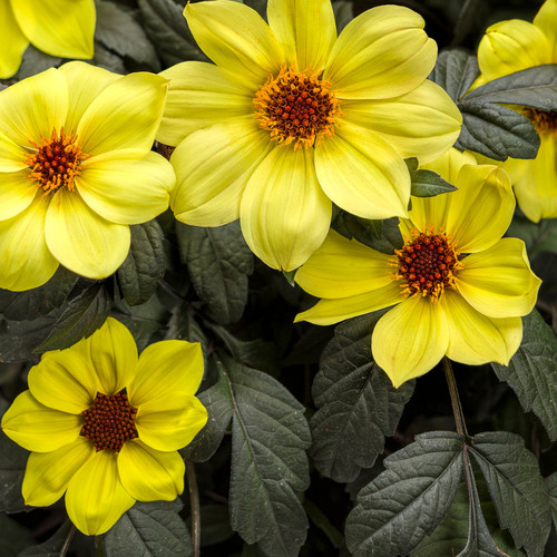 Yellow Mystic Illusion Dahlia Flowers with Dark Foliage